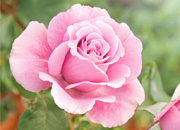 A beautiful pink rose