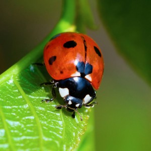 Little Ladybird