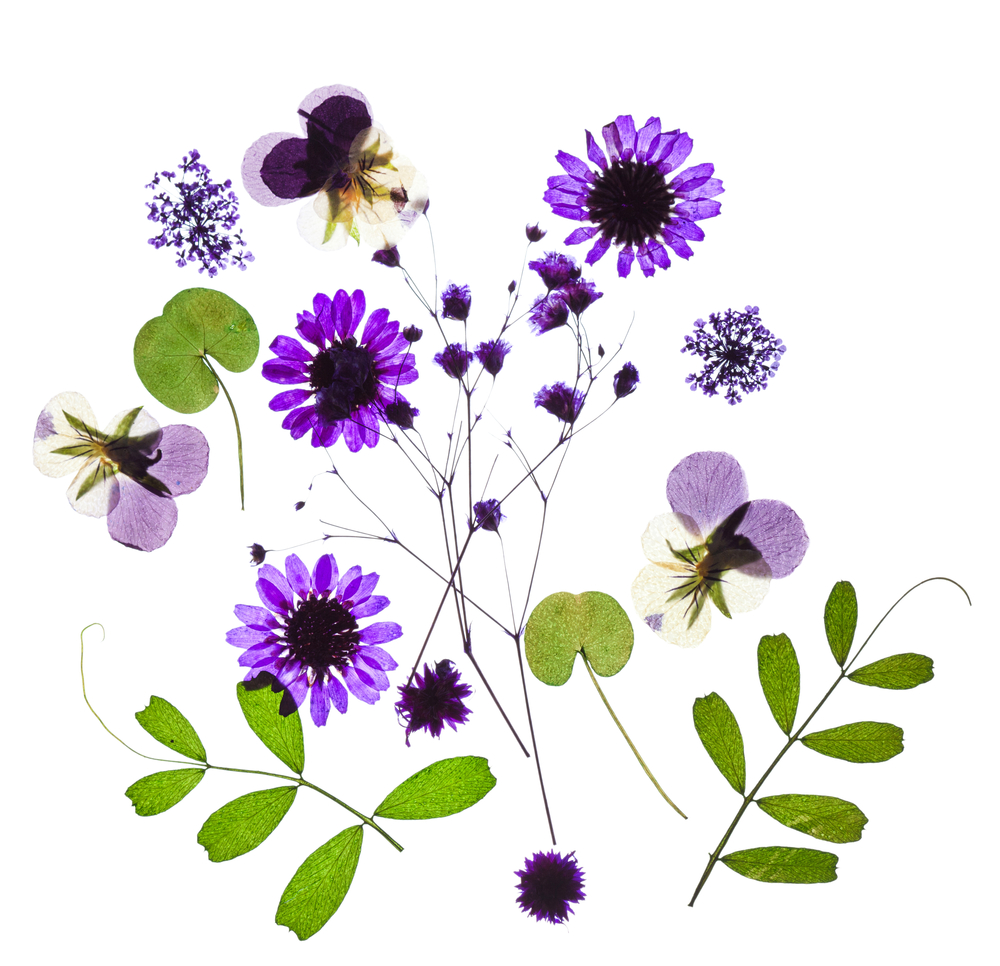 Pics Photos - Pressed Dried Flowers