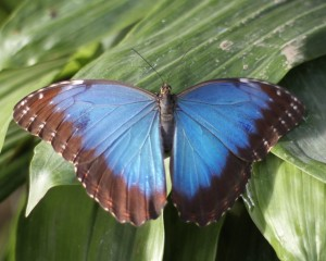 Beautiful Blue Morpho